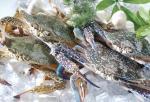 Blue/Yellow Swiming Crab
